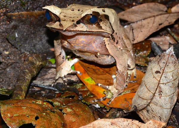 Borneo Horned Frog