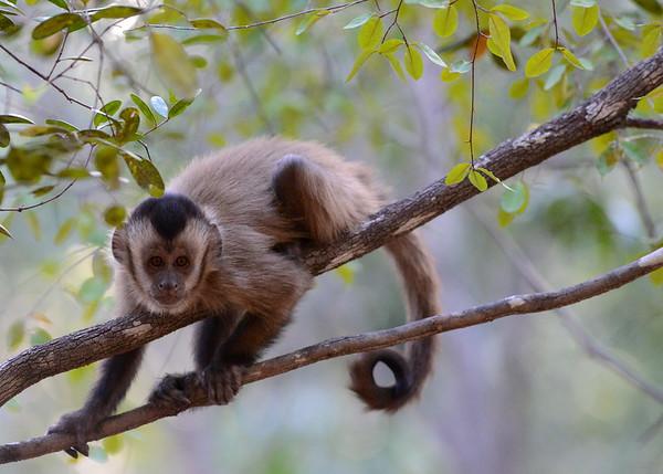 Bearded Capuchin Monkeys