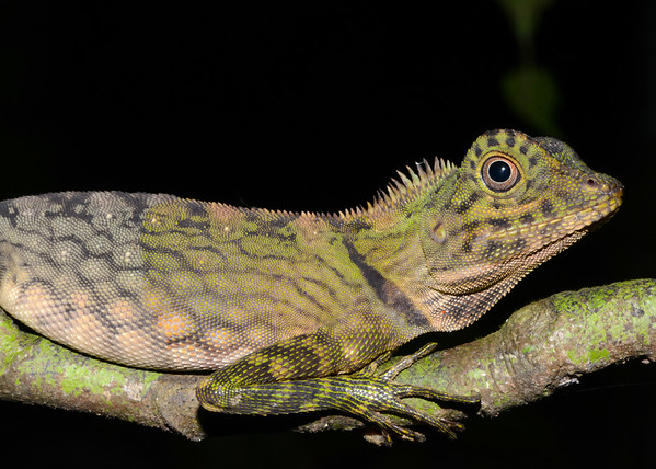 Angle Headed Lizard