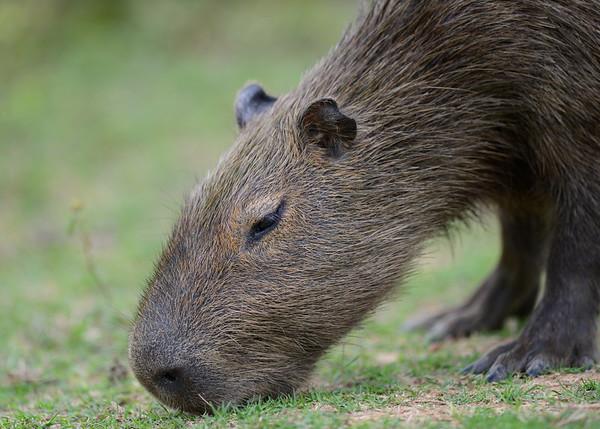 Capybara ( Hydrochoerus Hydrochaeris )