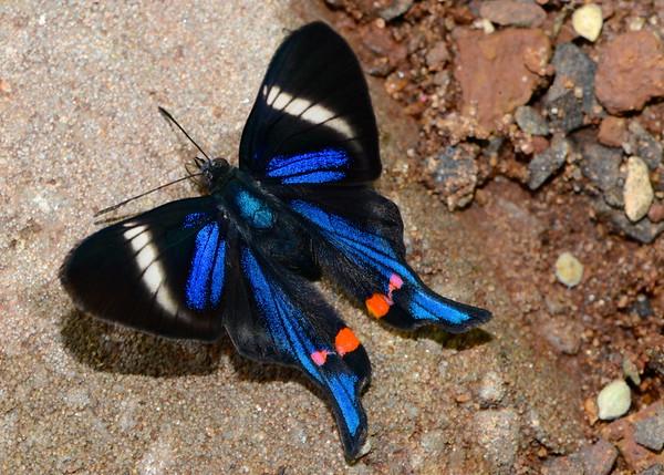 Periander Swordtail Butterfly