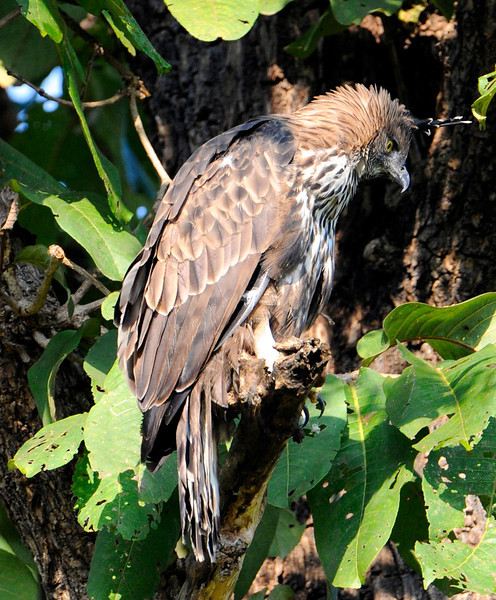 Changeable Hawk Eagle/Crested Hawk Eagle