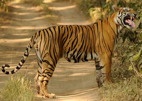 Sitara T28 Star male Tiger