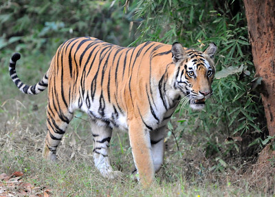Rajbheria Tigress